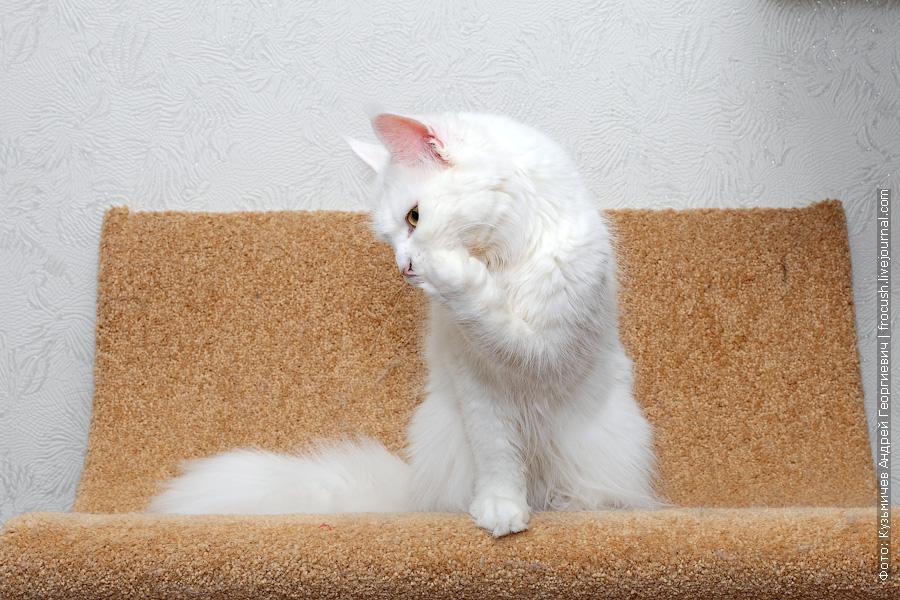 питомник в Москве белая кошка Мейн-кун