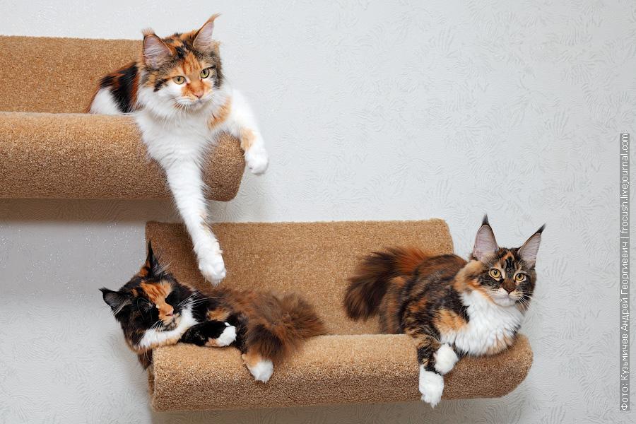 кошки мейн кун черепахового окраса из питомника в Москве