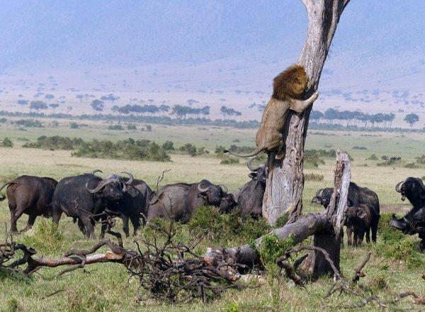 Когда охота у льва пошла не так