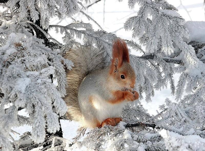 Белка-зимой-фото.jpg