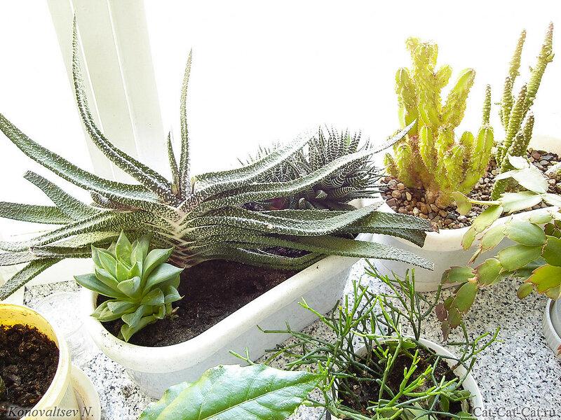 суккуленты, кактусы, толстянки