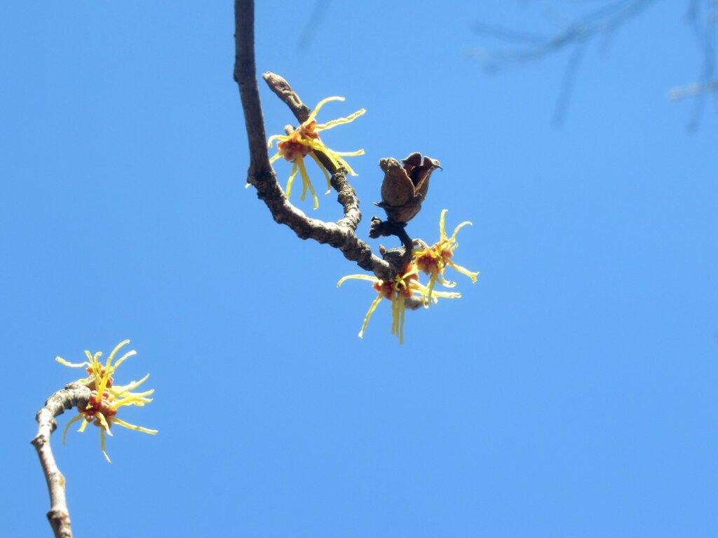 Гамамелис весенний: цветы и старый орешек