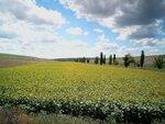 Малигоново. Подсолнуховое поле в долине речки Голубки.