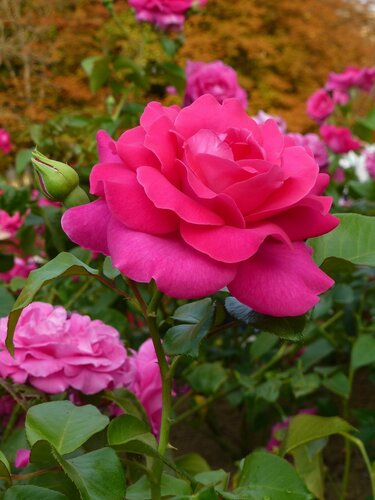 Роза Парижа