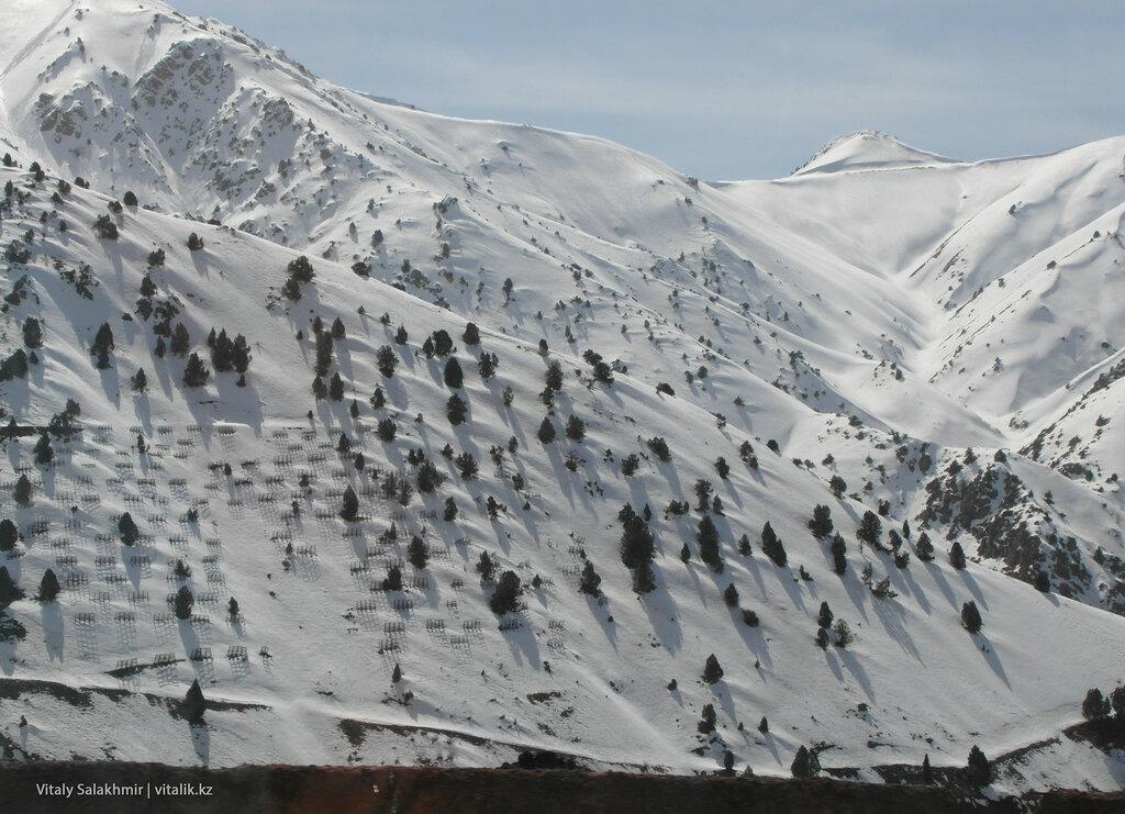 Ели в горах Узбекистана.
