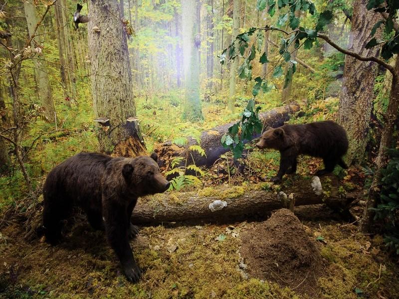 День дикой природы. Медведи