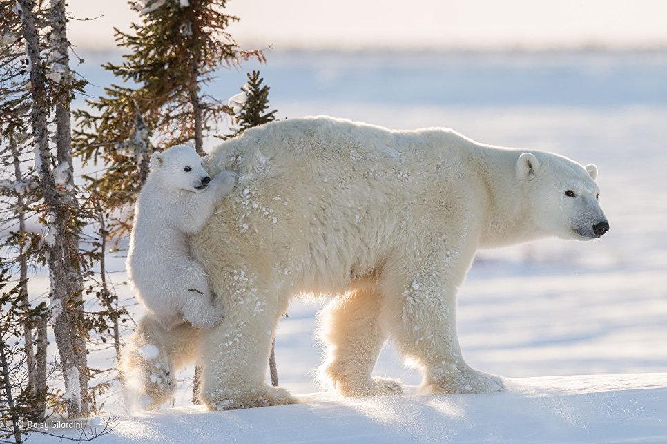 Открытки Всемирный день дикой природы. Белые медведи