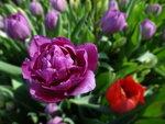 тюльпаны сиреневые.jpg
