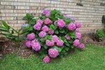 Hydrangea bush 06-06-10.jpg