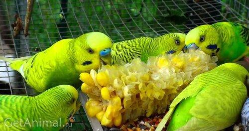 комр для волнистого попугая