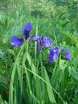 Дикие ирисы - типичный цветок Камчатки..JPG