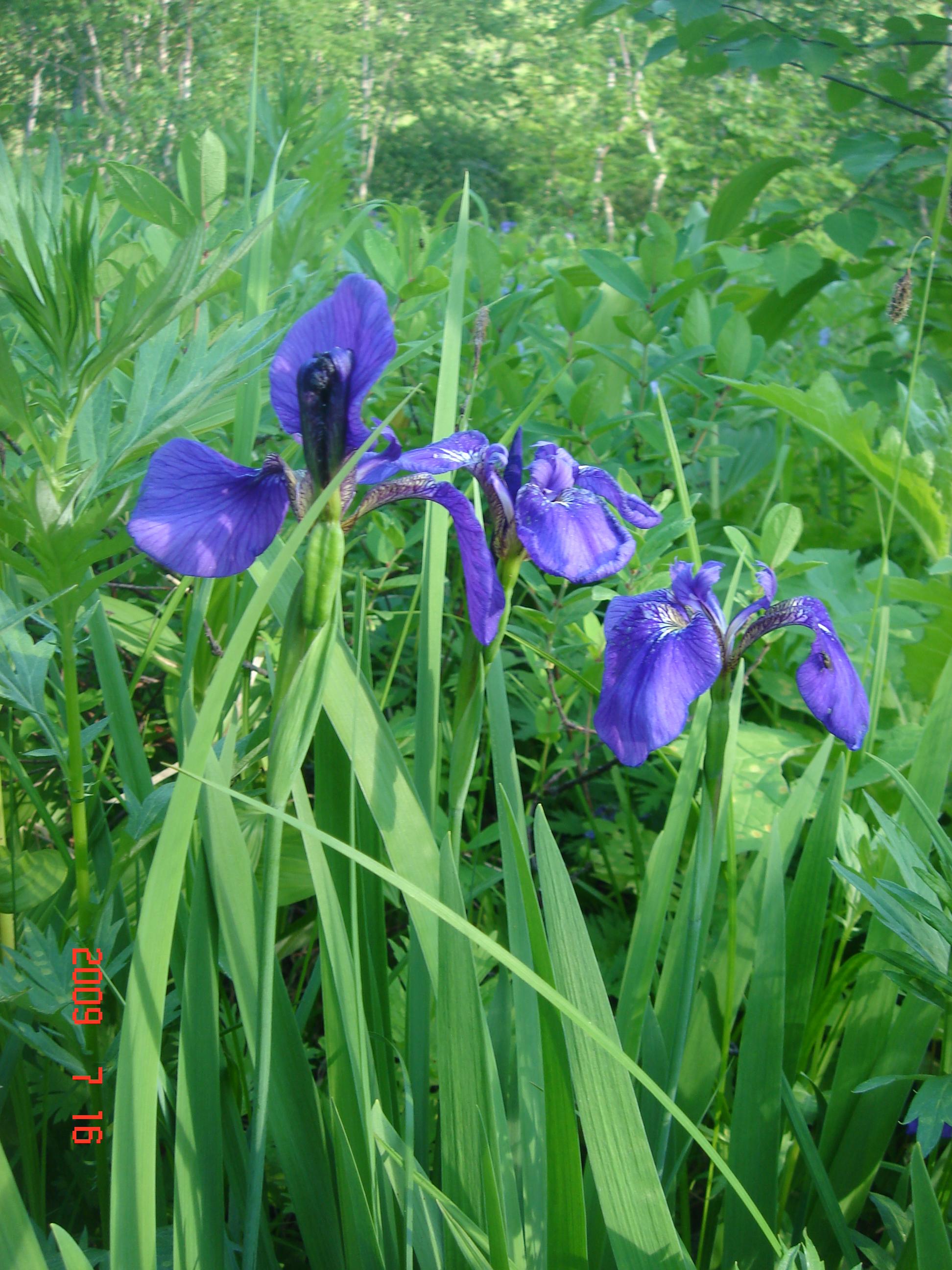 Дикие ирисы - типичный цветок Камчатки.
