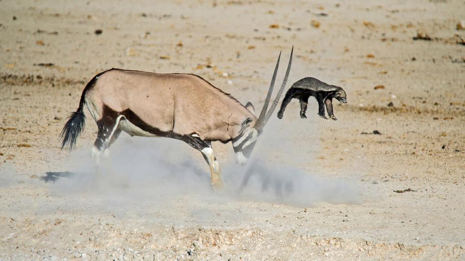 Антилопа отправила медоеда в полет