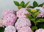 Copy of Hortensia_June_2008-1.jpg
