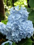 Decatur Blue hydrangea.jpg