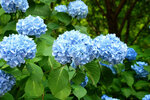 spring-care-of-hydrangeas.jpg