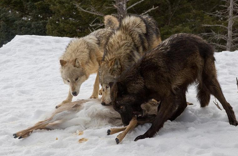 Турист стал свидетелем кровавой схватки гризли со стаей волков (7 фото)