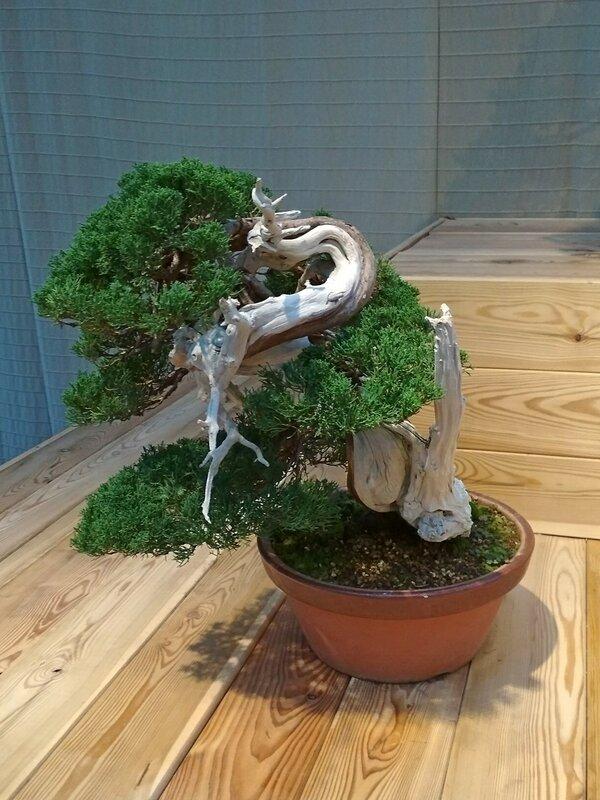 Можжевельник китайский (Juniperus chinensis), возраст около 100 лет - Выставка бонсай в Аптекарском огороде