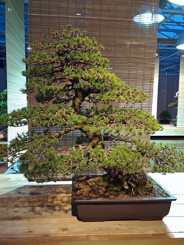 Сосна мелкоцветковая, белая японская сосна (Pinus parviflora Zuisho), возраст около 100 лет - Выставка бонсай в Аптекарском огороде