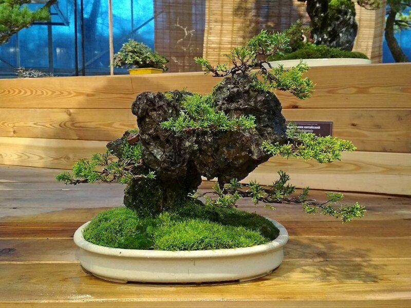 Можжевельник китайский (Juniperus chinensis), композиция на камне, возраст деревьев около 10 лет - Выставка бонсай в Аптекарском огороде