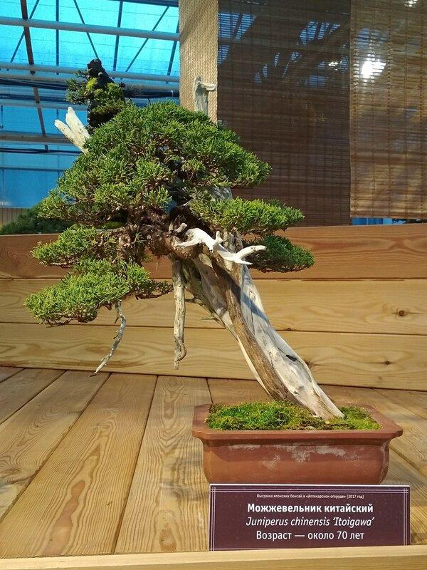Можжевельник китайский (Juniperus chinensis Itoigawa), возраст около 70 лет - Выставка бонсай в Аптекарском огороде