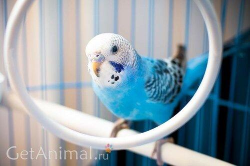 волнистый попугай голубого окраса