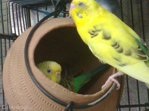 домик самки волнистого попугая