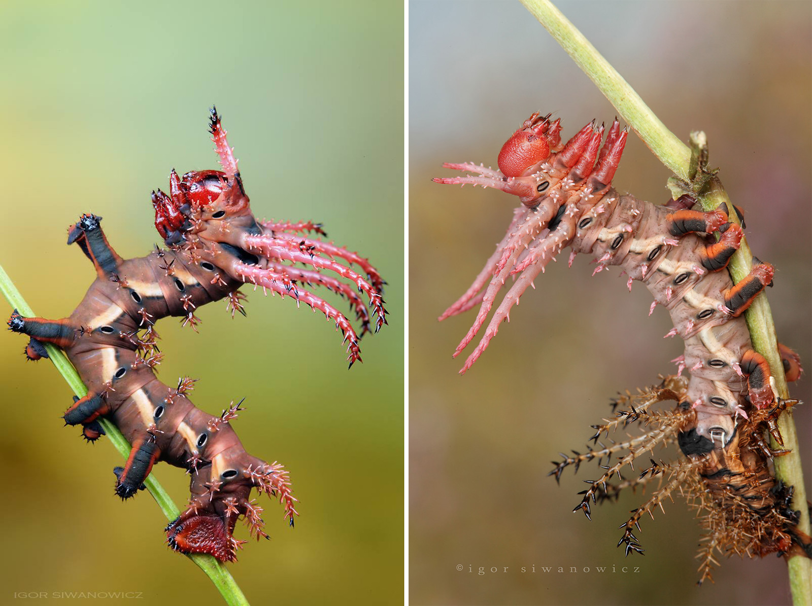 Radically Unusual Caterpillars Captured by Photographer Igor Siwanowicz
