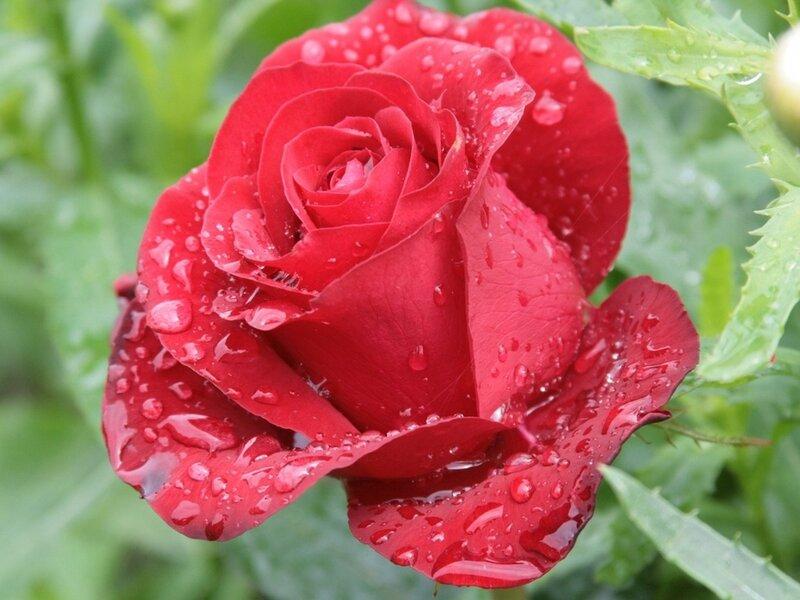 Фото роза в капельках росы