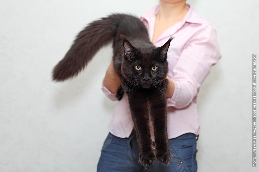 Мейн-кун кот в Москве