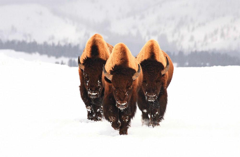 Бизоны в Yellowstone National Park