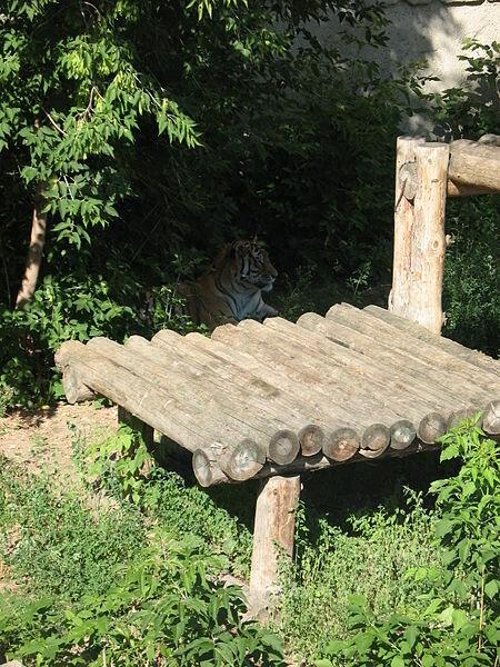 Тигр (21.05.2013)