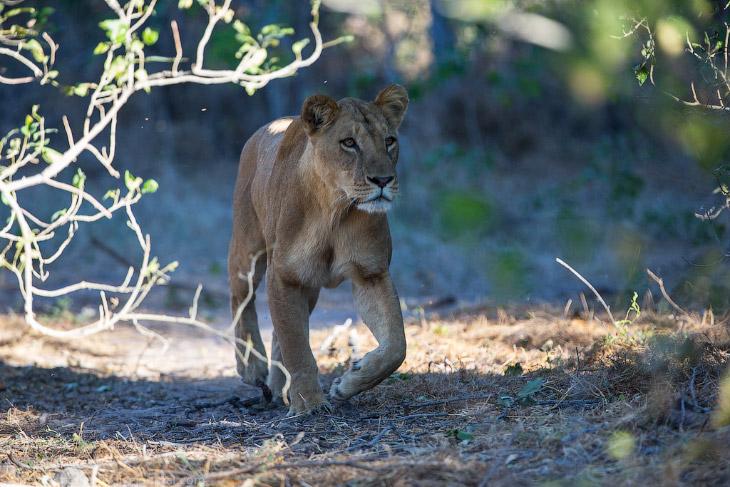 2. Точно также, с туристами он наблюдал за стаей бабуинов под сосисочным деревом когда туда пришёл л