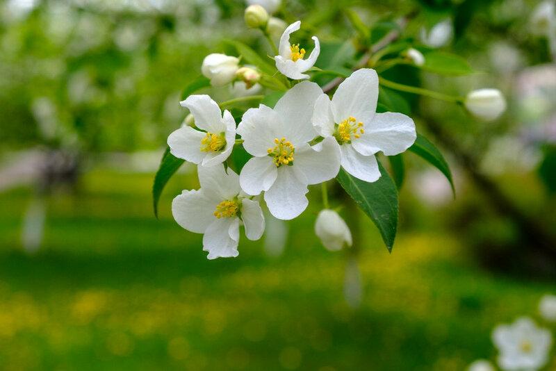 фотография о весне, яблоневый цвет