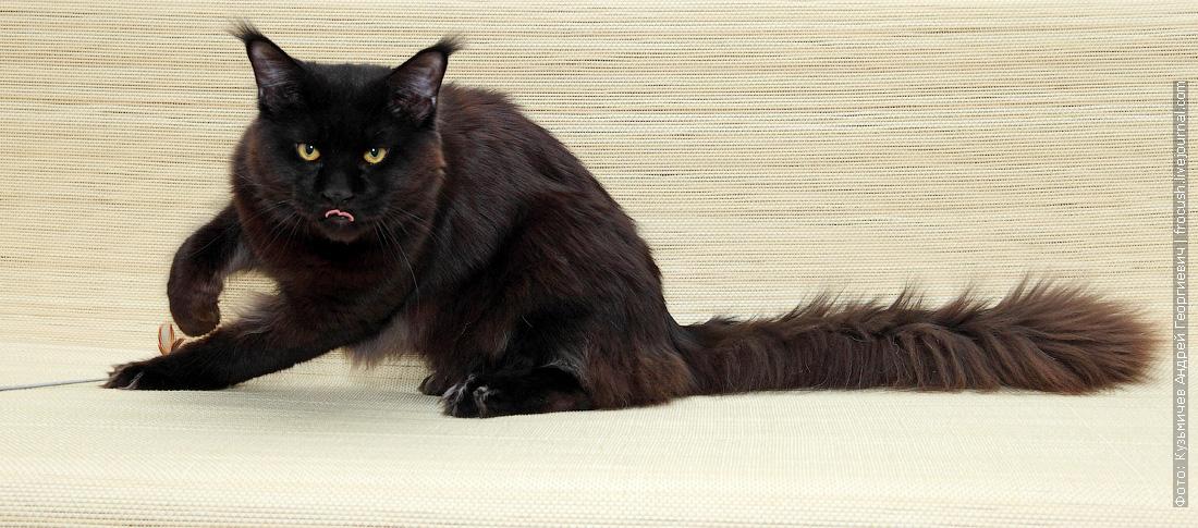 в Москве отдам в совладение кота Мейн-куна бесплатно