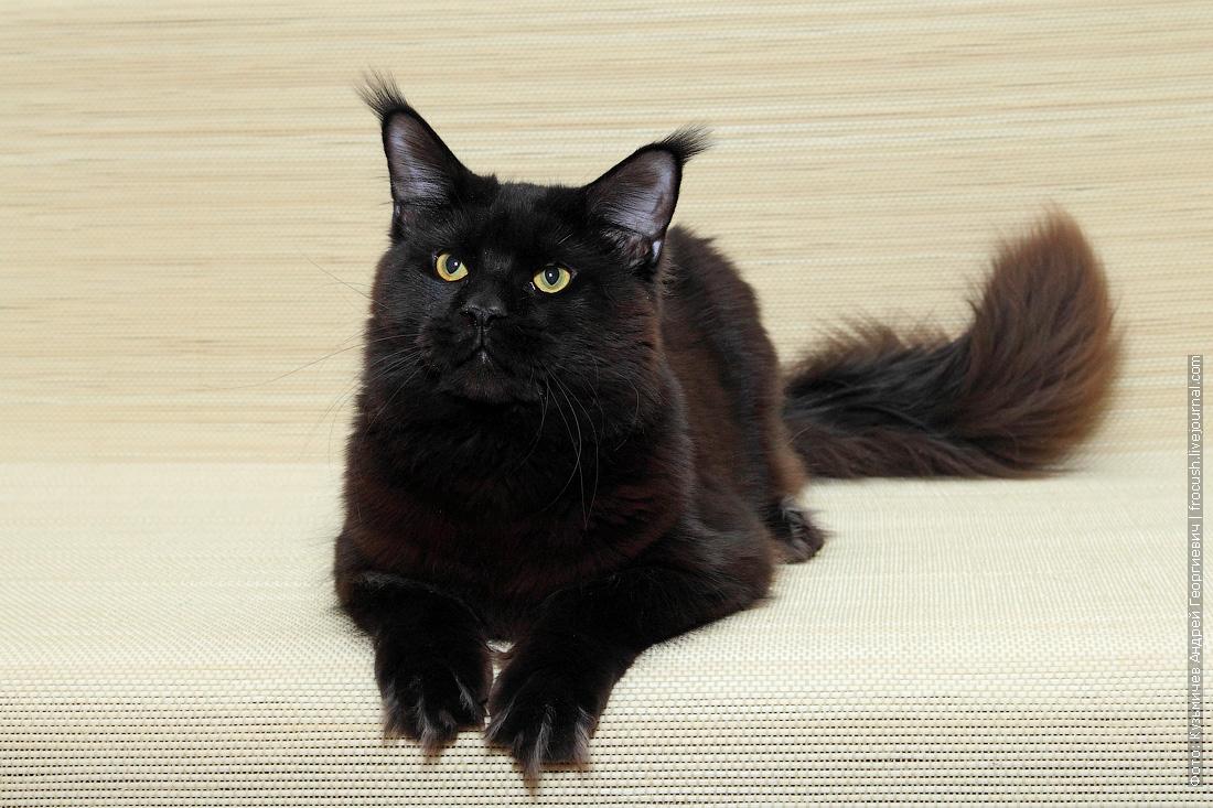 кот Мейн-кун в совладение бесплатно