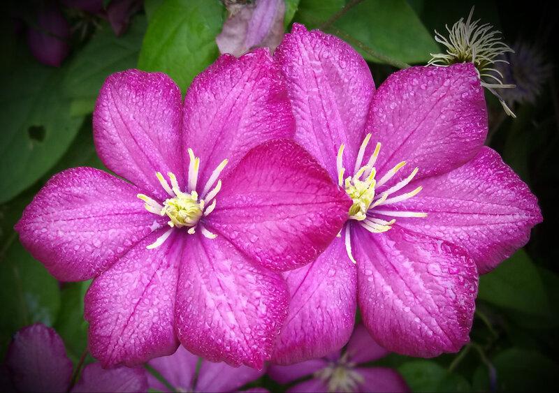 Клематисы. Выращиваем в садах и на балконе