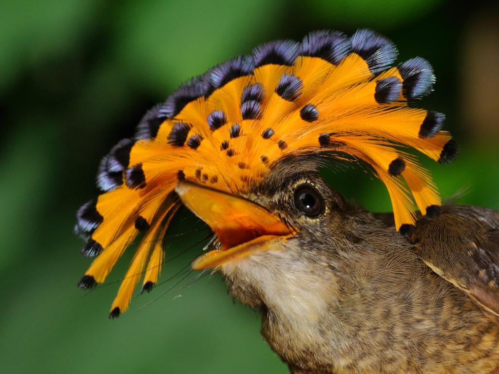 схема вязания хохолка птицы крючком