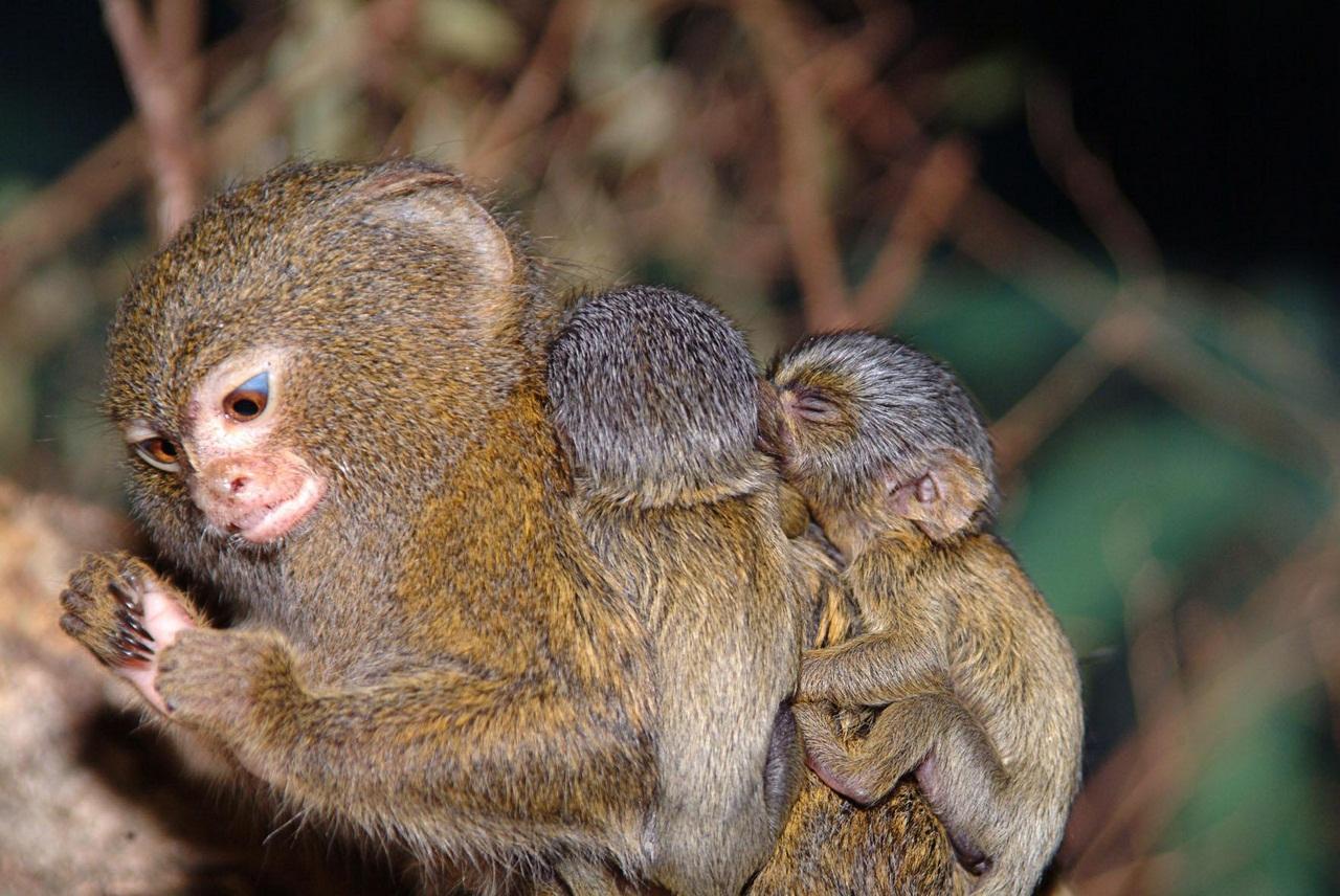 Картинки обезьяны карликовая