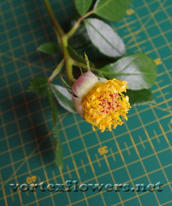 тычинки живой розы