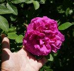 Павловск. Розы...
