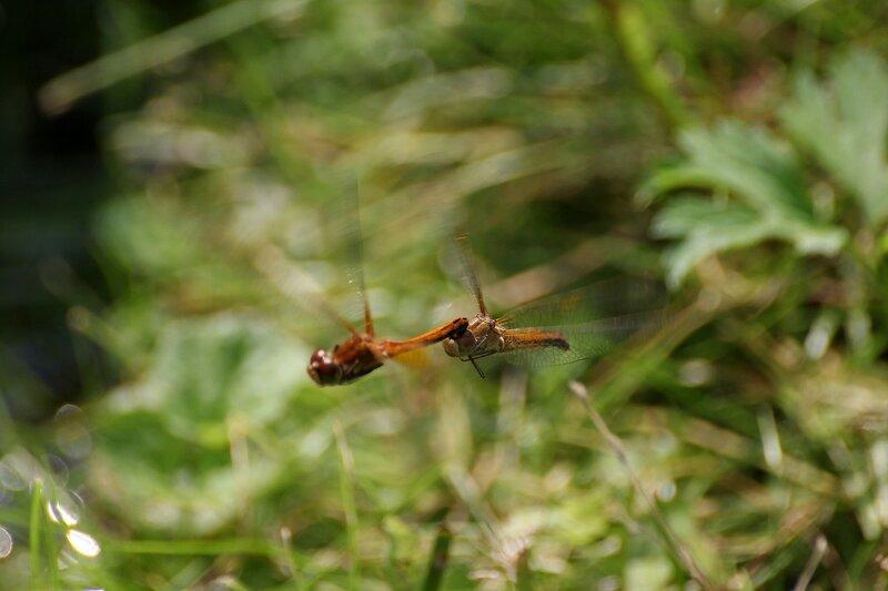 Спаривание стрекоз в полёте