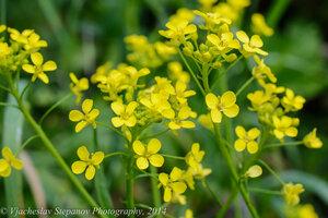 s:травянистые,c:желтые,околоцветник актиноморфный,лепестков 4