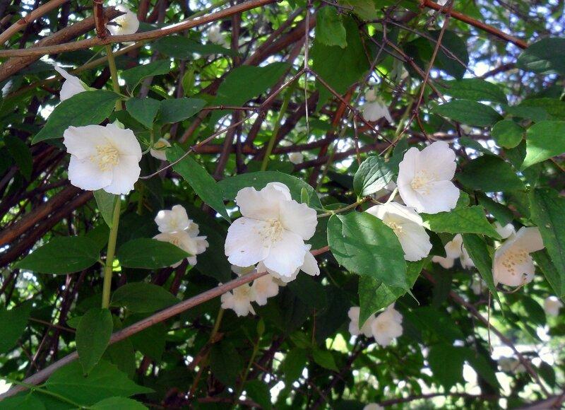 В мае, цветение