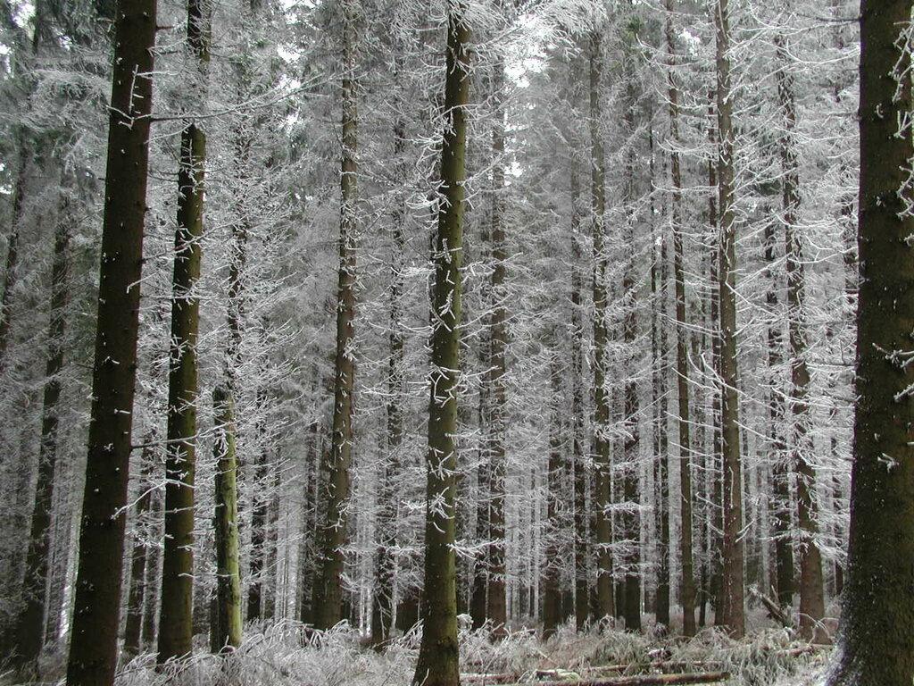 Bäume_mit_Raureif.JPG