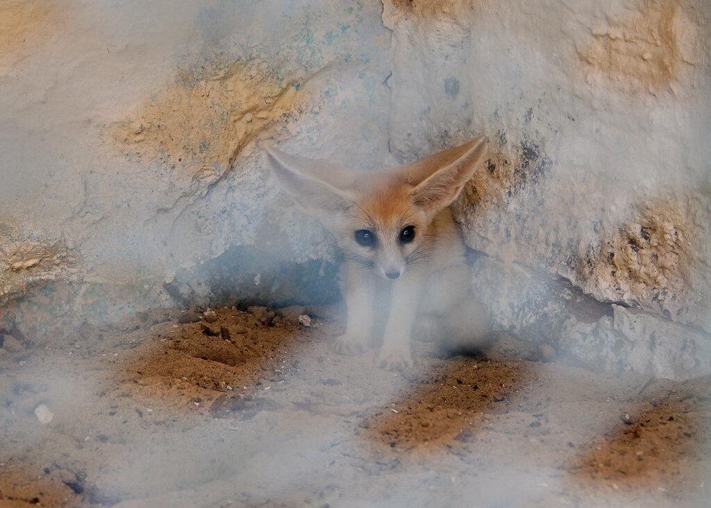 пустынная лисичка фенек