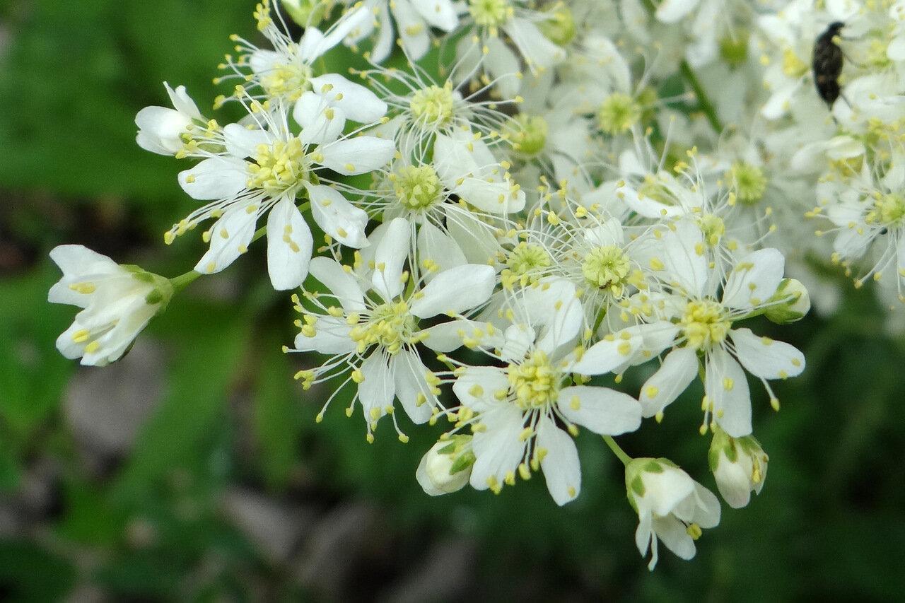 Лабазник обыкновенный (Filipendula vulgaris). Автор фото: Привалова Марина