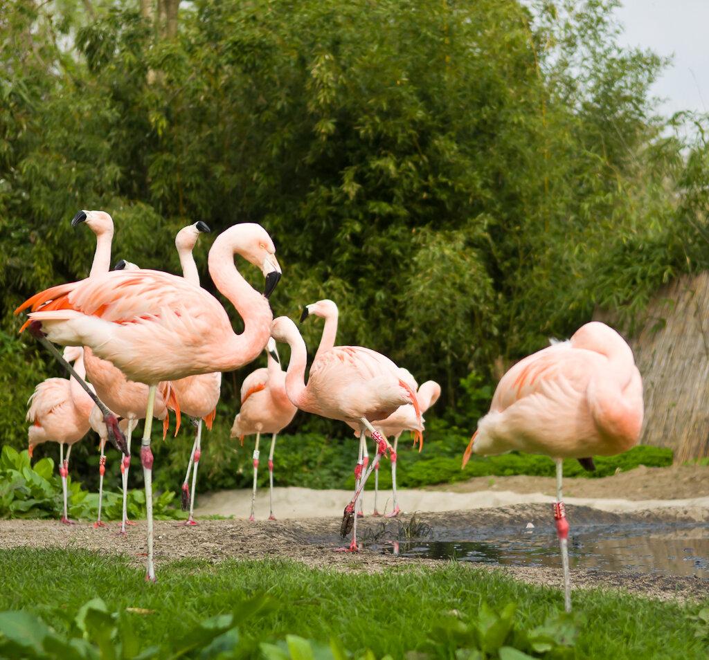 Розовый фламинго. Отчет об экскурсии в зоопарк Франкфурта. Снято на зеркалку Nikon D5100 и объектив Nikon 17-55mm f/2.8G.