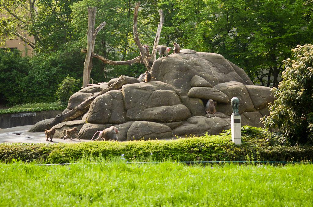 Бабуины в зоопарке во Франкфурте живут, почти, на свободе.