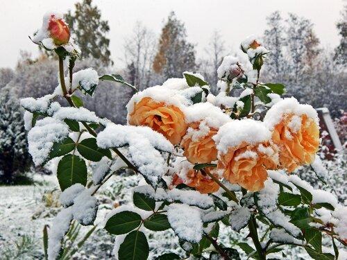 Утепляются к зимовке